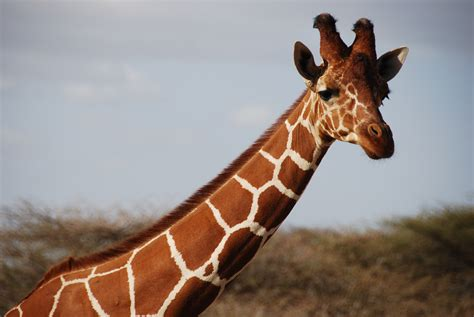 Giraffe Facts, History, Useful Information and Amazing
