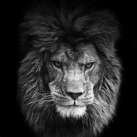 wallpaper black lion lion roar iphone wallpaper wallpapers background