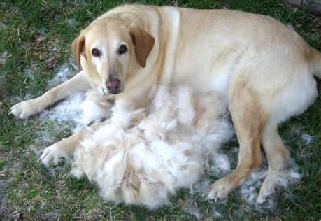 Dogs Shedding Winter Coat by Shedding Tis Grooming Season Earthbath