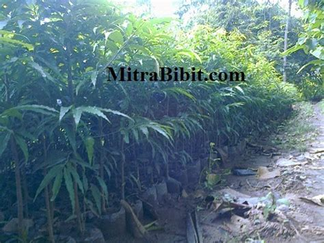 Bibit Glodokan Tiang cv mitra bibit mengenal tanaman glodokan