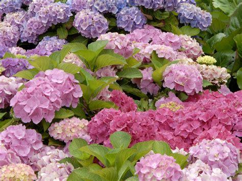 hortensie schneiden wann hortensien schneiden hortensien richtig schneiden