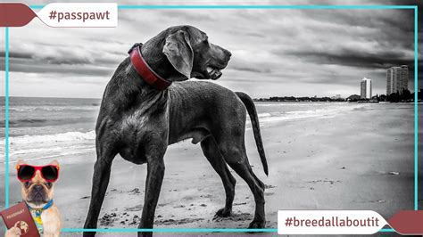 breed w breed all about it breeds starting with w weimaraner