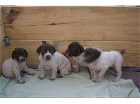 german shorthaired pointer puppies for sale in mn german shorthaired pointer puppies in washington dc