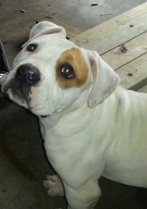 pomeranian puppies for sale in johnson city tn 9 best american bulldog images on american bulldogs american bulldog