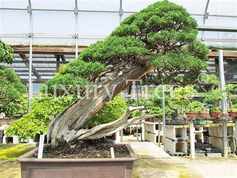 Pflege Bonsai 6380 by Juniperus Chinensis 187 Luxurytrees 174 Deutschland