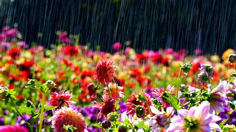wet flowers 4k spring wallpaper free 4k wallpaper