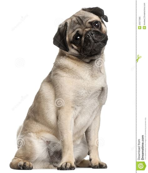 how to a pug to sit pug 8 months sitting royalty free stock photo image 20377085