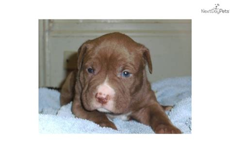 pitbull puppies for sale in pittsburgh american pit bull terrier puppy for sale near pittsburgh pennsylvania e2dfa476 e071