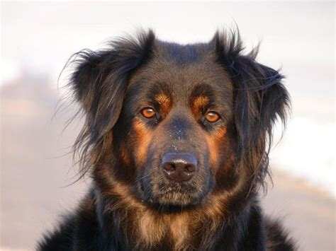 rottweiler and golden retriever mix golden retriever rottweiler mix pets siberian huskies rottweiler mix