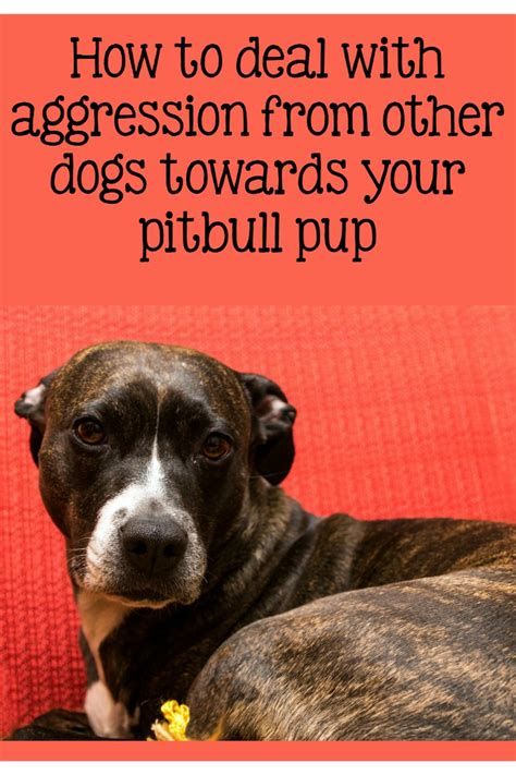 aggression towards pitbull puppy tips addressing aggression