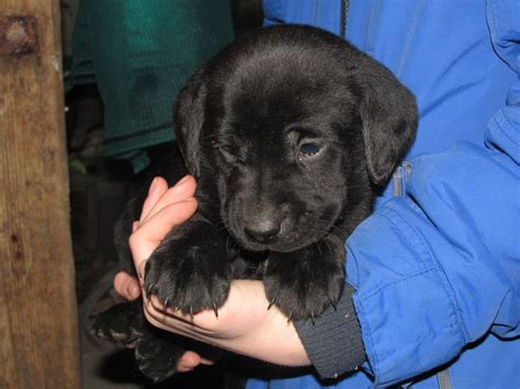 black lab puppies for sale in iowa labrador puppies beautiful chunky black and yellow labrador puppies breeds picture