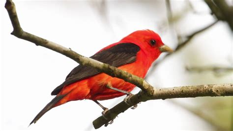 scarlet tanager flame of spring youtube