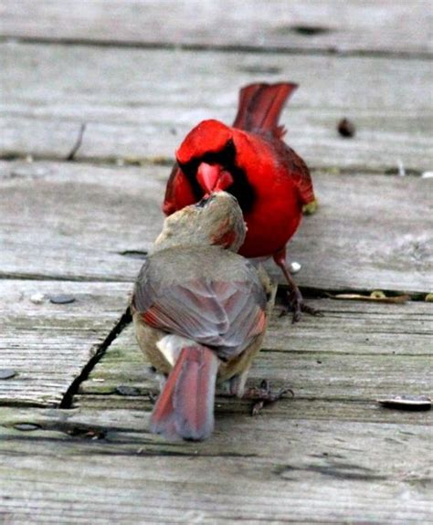 two cardinals kissing or sharing food garden