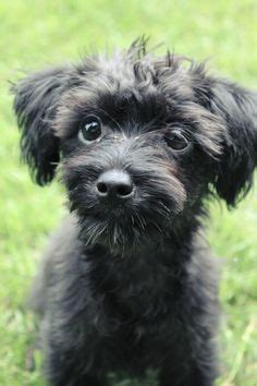 yorkie poo size and weight 1000 images about yorkie poo on yorkie yorkie poo puppies and gifts