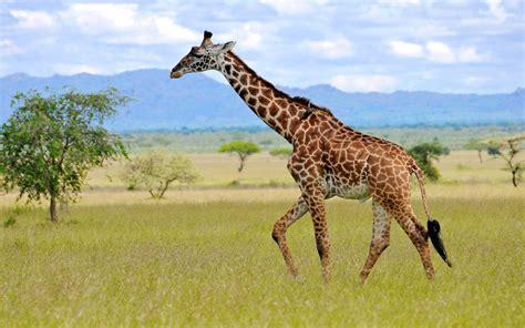 wild animals  africa giraffe family giraffidae