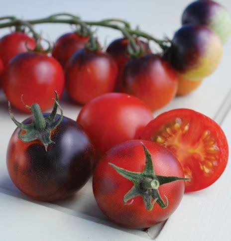 Biji Tomat Indigo benih tomato indigo cherry drops 2 biji non retail