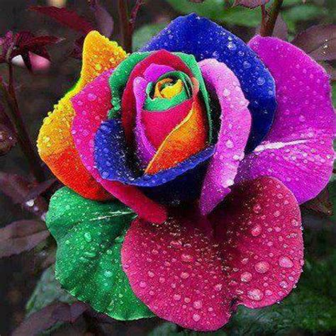 colorful roses colorful roses flowers photo 34753354 fanpop