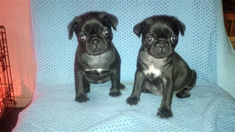 black pug puppy for sale black pug puppies for sale in wisbech wisbech cambridgeshire pets4homes