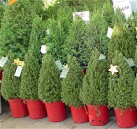 how to grow a christmas tree hydroponically