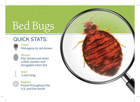 when do bed bugs come out do bed bugs come out in the daytime 28 images things that go bite in the night