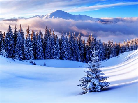 wallpaper pine trees forest winter mountains