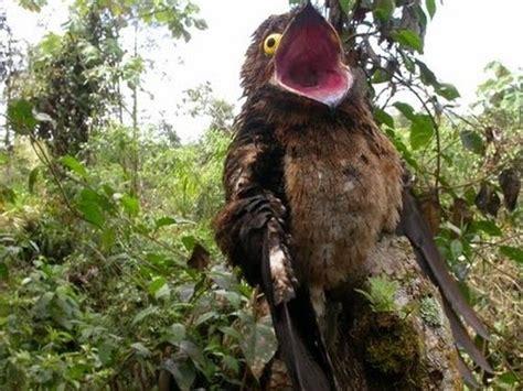 Barn Owl Noise Potoo Bird Photos Barnorama