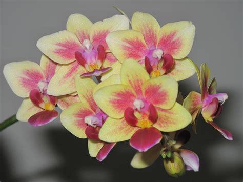 orchidee fiori appassiti come curare le orchidee bigodino