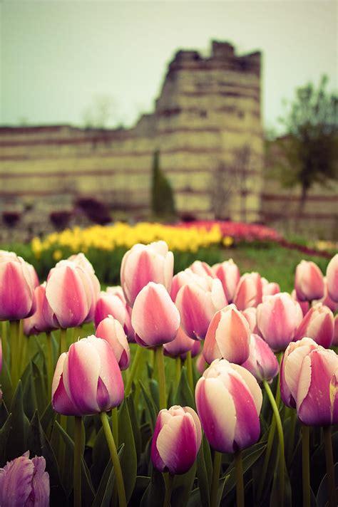 ottoman tulip ottoman tulip garden photograph by suzanne morris