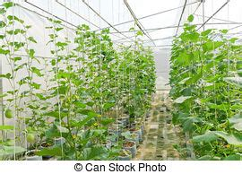 Plantation De Melon by Plantation Greenhouse Melon