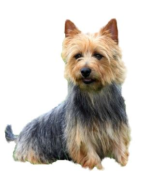 breeds alphabetical small purebred dogs in alphabetical order breeds picture