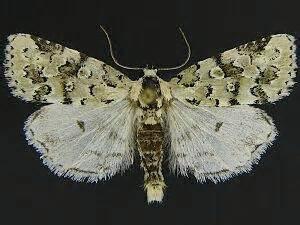 moth photographers group – bryolymnia viridata – 9296