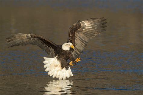 Alaska bald eagle photo tours