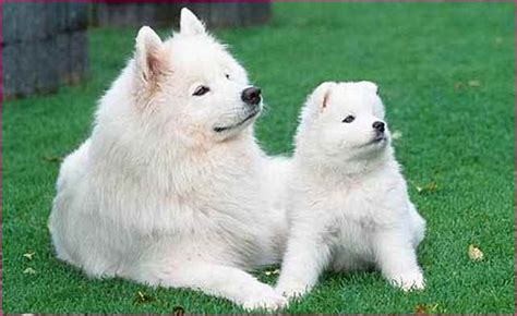 white fluffy big big white fluffy breed simple image gallery