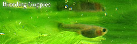 guppies colors guppy fry color