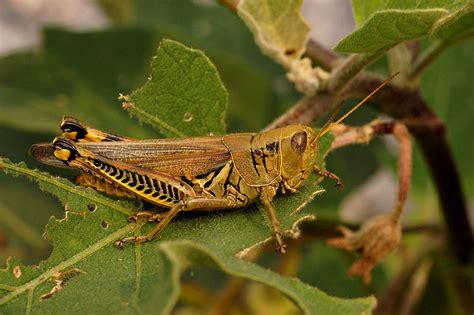 what eats grasshoppers verse escape grasshoppers