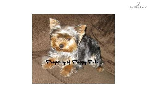 6 month yorkie yorkie puppy 24 weeks 6 months breeds picture
