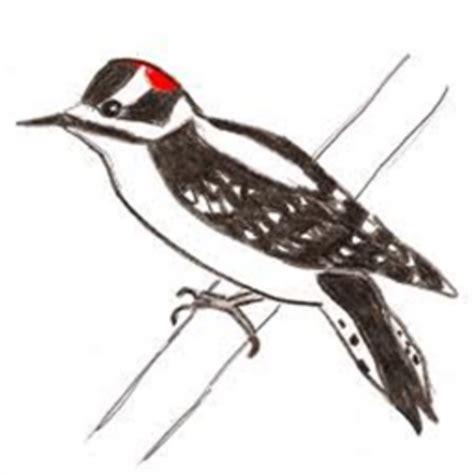 downy woodpecker drawing roblox