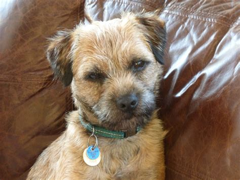 border terrier puppies for sale border terrier for sale breeds picture
