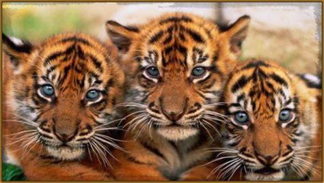 imagenes fondo de pantalla tigre hermosas imagenes para fondo de pantalla de tigres fotos
