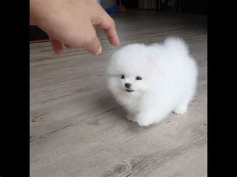 pomeranian breeders bc 17 best ideas about white pomeranian on teacup dogs pomeranians and