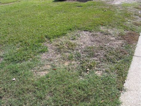 Charlotte Moss what is killing my lawn north carolina cooperative