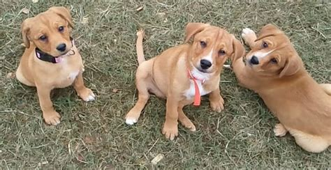 cur puppy mountain cur characteristics appearance and pictures