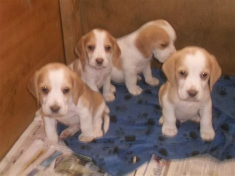 litter of puppies new litter of 7 beagle puppies newcastle upon tyne tyne and wear pets4homes