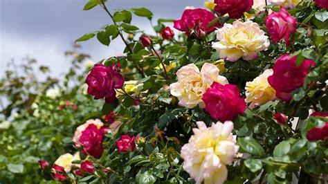 fiori di rosa fiori rosa fiori di piante caratteristiche dei fiori