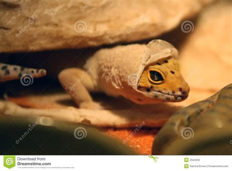 Gecko Skin Shedding by Gecko Shedding Stock Photography Image 2504632
