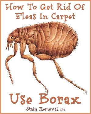 how to get rid of fleas in your house fast uses for borax around your home
