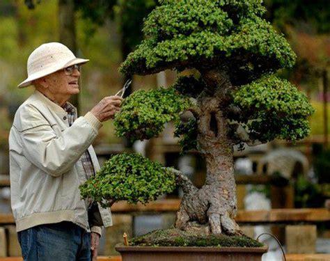 tanaman sukulen portulacaria afra a true gentleman a large tree bonsai bark