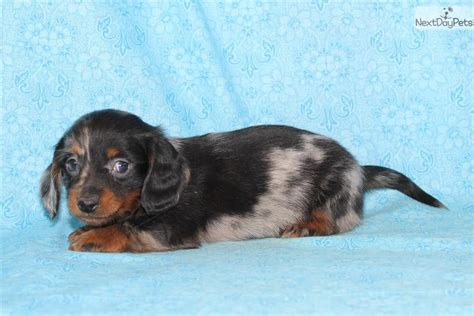 dachshund puppies for sale in missouri dachshund mini puppy for sale near lake of the ozarks missouri 3bb16293 e671
