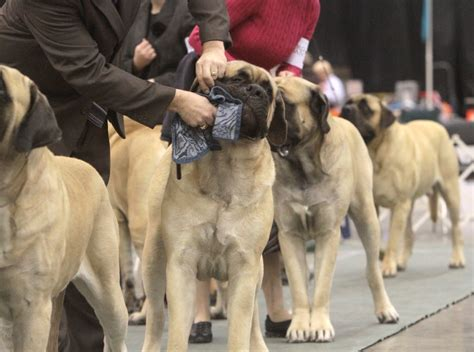 sweetest breeds sweet mastiff breeds for wallpaper picsmine