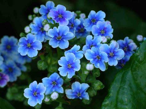 nontiscordardime fiore lo splendido non ti scordar di me dell isola chatham